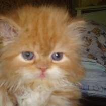 Персидские котята, в Керчи