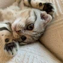 Шотландский вислоухий котёнок, в Сургуте