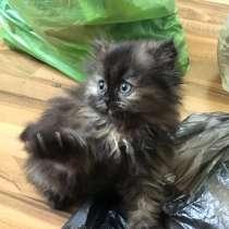 Персидские котята, в г.Гродно