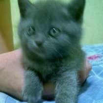 Британские котята, в г.Донецк