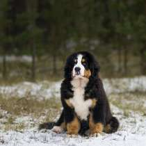 Bernesemountaindog, в г.New York Mills