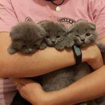 Продам котят породы шотландская вислоухая скоттиш фолд и стр, в г.Полтава