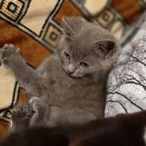 Котята британские, в г.Барановичи
