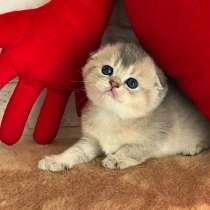 Шотландские котята для Вас золотого окраса, в Москве