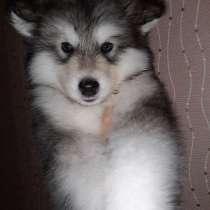 Продаю чистокровных щенков Аляскинского маламута, в г.Караганда