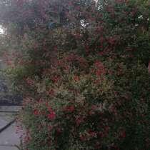 Роза плетистая, в Краснодаре