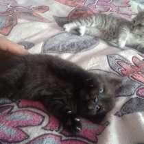 Продам котят Шотландских, в Сергиевом Посаде