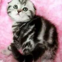 Шикарные шотландские котята, в г.Днепропетровск