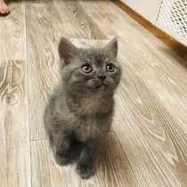 Шотландский котик 1,5 месяца, в г.Витебск