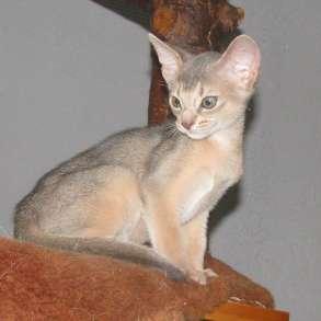 Абиссинский котенок голубого окраса, в г.Кобрин