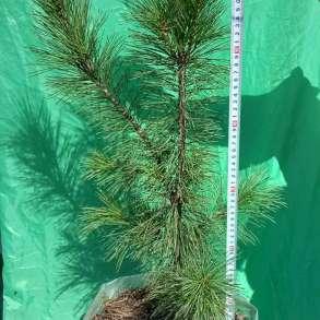Кедр сибирский (лат. Pinus sibirica), в Искитиме