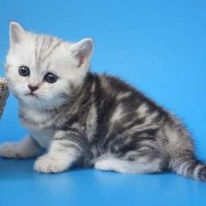 Шотландские мраморные котята и классика, в Москве