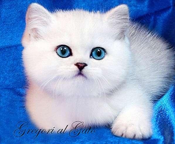Британские котята шиншиллы шоу-класс с изумрудными глазками