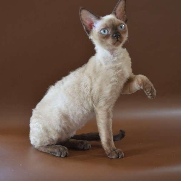 Кошечка девон-рекс