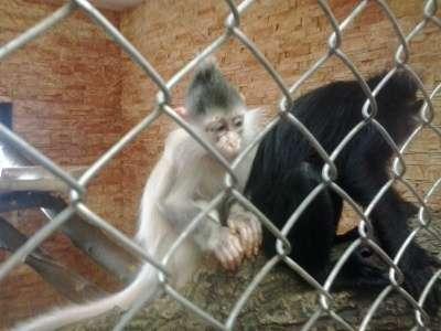 уникальная обезьянка черный мангобей