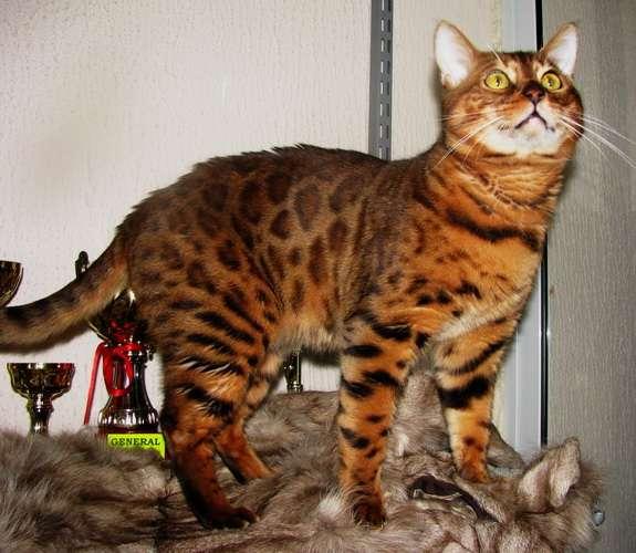 Бенгальский кот вязка