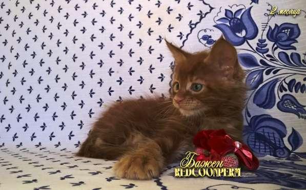 Котёнок менй кун красный солид. Шоу класс в Перми фото 12