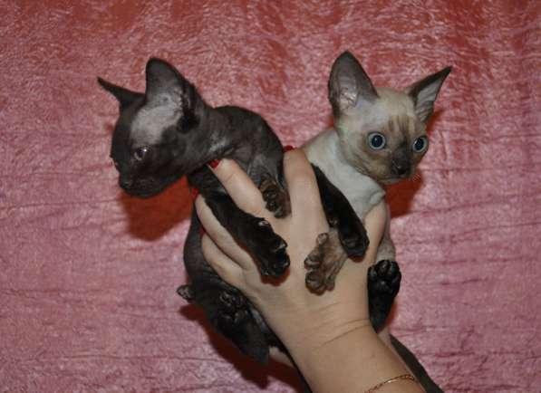 Девон Рекс -Дивные котята (Девонширские эльфы)