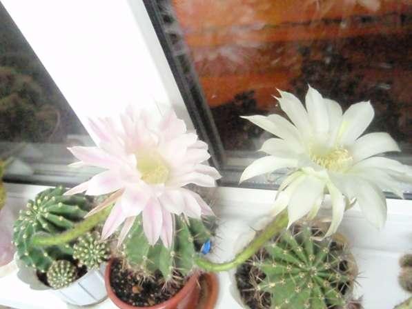Поделюсь цветущими кактусами в Астрахани