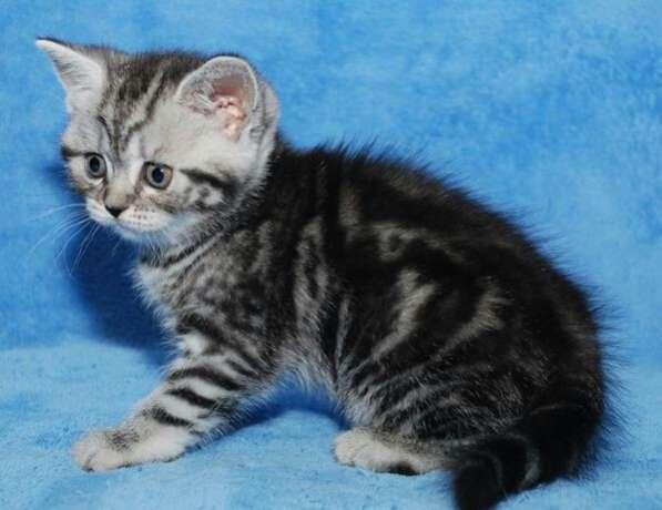 Британские чистокровные котята в Новокузнецке фото 3