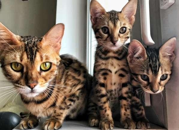 Бенгальские котята в Химках фото 3