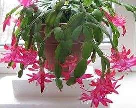 Декабрист,молодое растение