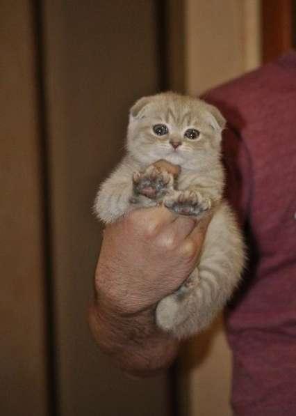Шотландский очаровательный котик