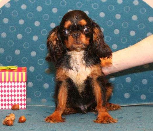 Продается щенок Кинг Чарльз Спаниеля, черно-подпалого окраса, мальчик
