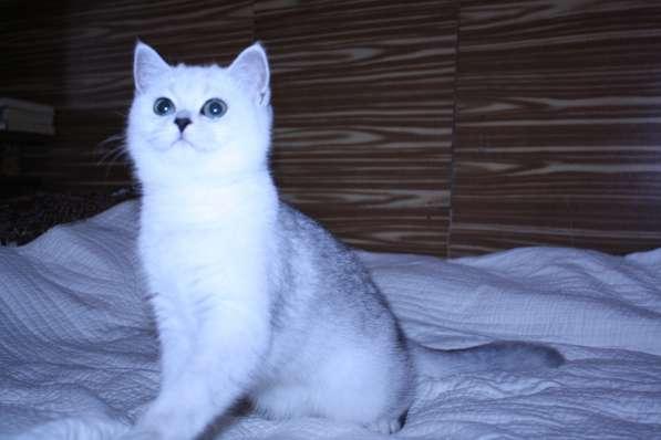 Котята серебристой шиншиллы в Москве фото 3