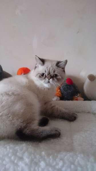 Котята персидские в Дубне