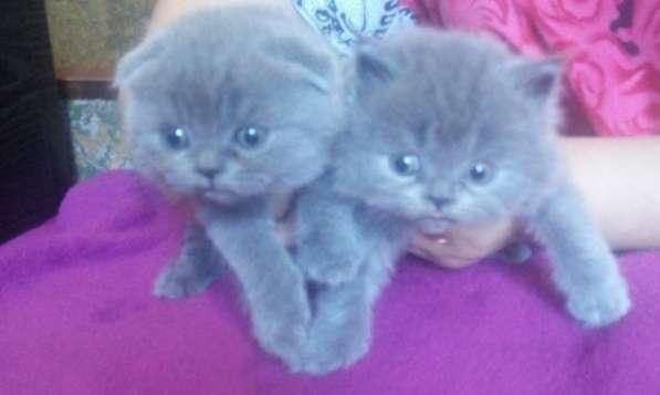 Продам чистокровных плюшевых шотландских котят в