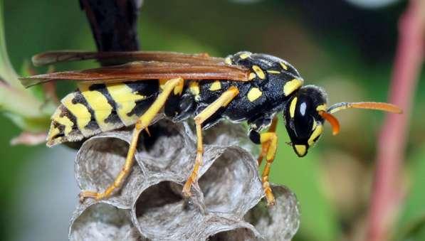 Уничтожение ос, осиных гнезд и шершней