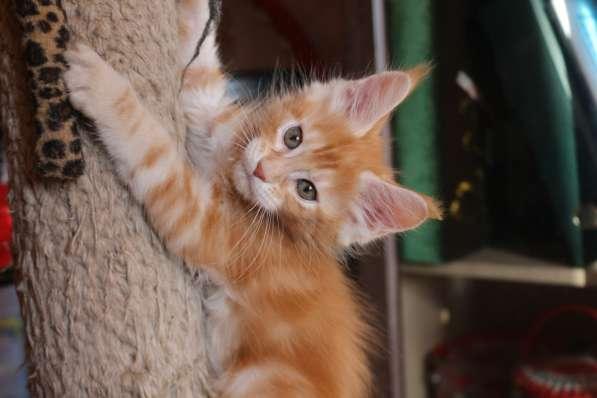 Продам котят породы мейн кун
