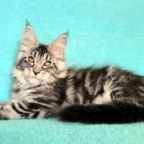Кошечка мейн-кун из питомника, в Казани