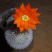 Продам кактусы, в Новосибирске