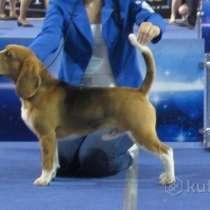 Роскошные щенки Бигляши от родителей Чемпионов, в г.Варшава