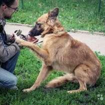 Красавец Рей, молодой домашний пес, метис овчарки, в г.Москва