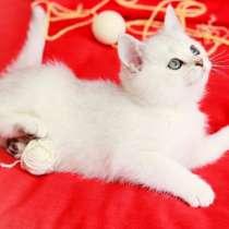 Британские котята окраса серебристая шиншилла, в г.Берлин
