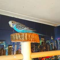 Волнистые попугаи от 3 мес, в Москве