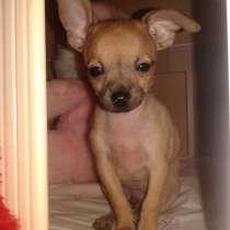 Продаю щенка Чихуахуа, в г.Тбилиси
