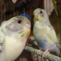 Продам 2-х молодых попугаев, в г.Астрахань