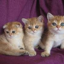 Золотые шотландские котята, в Казани