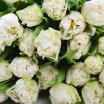 Пионовидные голландские тюльпаны Норткап, в Братске