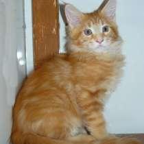 Котик мейн кун 2.5 месяца, в Москве