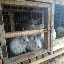 Кролики калифорнийской породы, в Джанкое