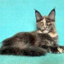 Кошечка мейн-кун из питомника, в Иркутске