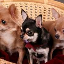 Продам щенков Чихуахуа, в Симферополе