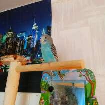 Волнистые попугаи -Самки, в Мытищи