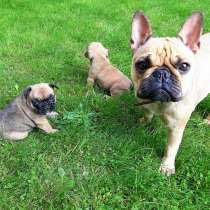 Продам щенков французкого бульдога, в г.Кёльн