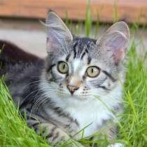 Малыш Тимошка, чудесный полосатый котенок в добрые руки, в г.Москва